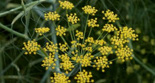 image of common fennel (Foeniculum vulgare