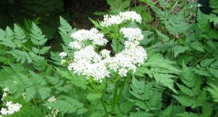 image of Sweet cicely (Myrrhis odorata)