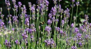 image of Imperial Gem lavender