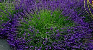 image of Hidcote Giant lavender