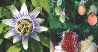image of passion flower