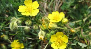 image of potentilla