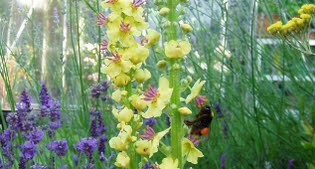 image of verbascum