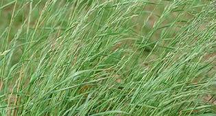 image of Italian Ryegrass