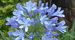 image of agapanthus plant