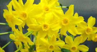 image of narcissi