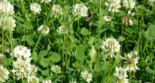 image of white clover