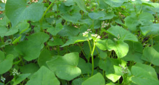image of buckwheat