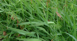 image of forage rye