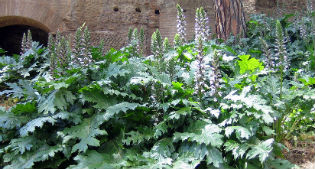 image of Acanthus