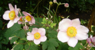 image of Anemone japonica