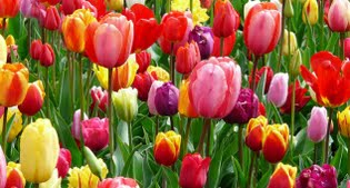 image of tulips