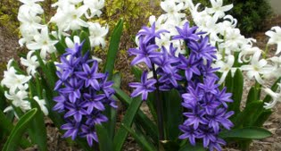 image of hyacinth