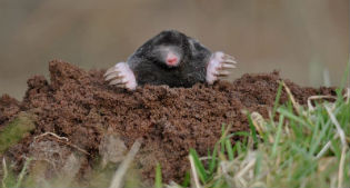 image of mole