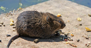 image of rat