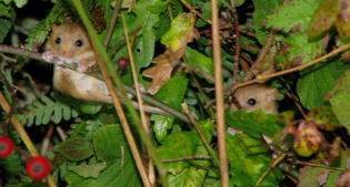 image of field mice in hedgerow
