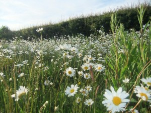 Croquet Anyone? - daisys