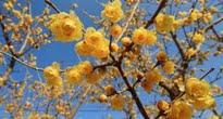 image of Chimonanthus praecox