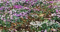 image of Cyclamen cuom
