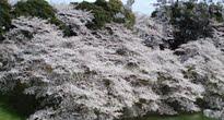 image of Prunus subhirtella 'Autumnalis'