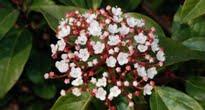 image of Viburnum tinus