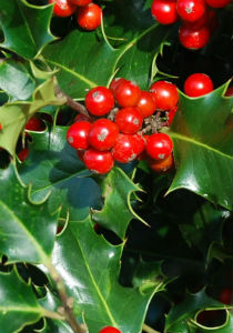 image of holly