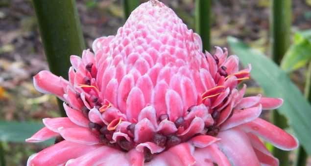Zingiberaceae Phaeomeria Speciosa