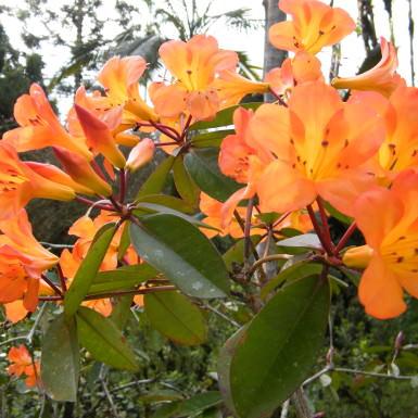 Rhododendron (variety unknown)