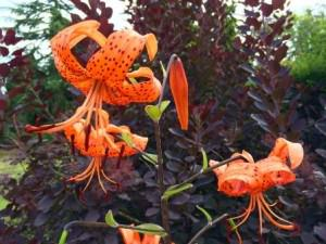 Colour contrasting Lilies and Cotinus