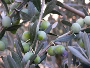 olive-freepik