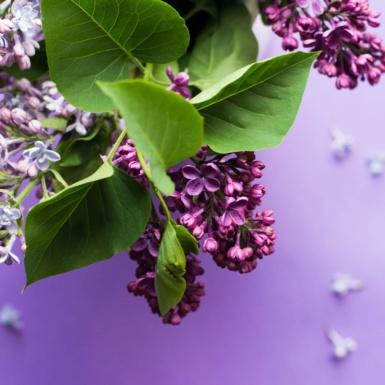 sprig of lilac